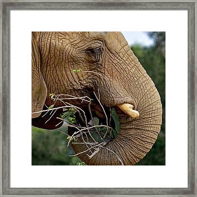 Elephant Curl Framed Print