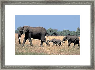 Elephant Family Framed Print by Carl Purcell