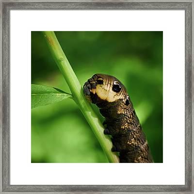 Elephant Hawk-moth Caterpillar Framed Print