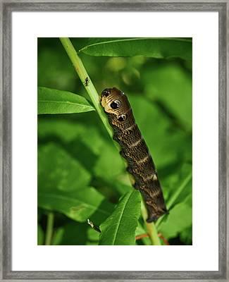 Elephant Hawk-moth Caterpillar Meeting With An Ant Framed Print