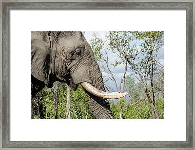 Framed Print featuring the photograph Elephant In Manyeleti Game Reserve by Rob Huntley