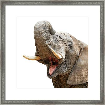 Elephant Mouth Open Trunk Up Closeup Framed Print by Susan Schmitz
