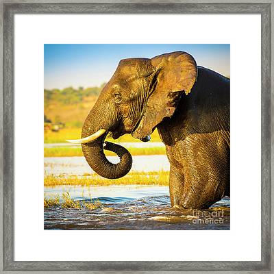 Elephant Portrait  Framed Print by Tim Hester