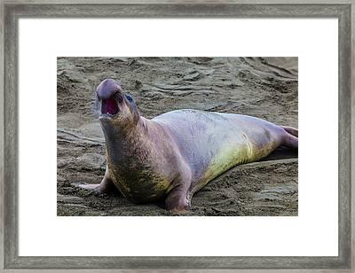 Elephant Seal Bull Framed Print