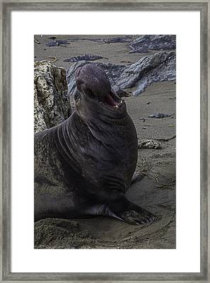 Elephant Seal Calling Framed Print by Garry Gay