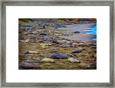 Elephant Seal Coloney Framed Print