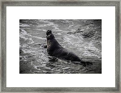 Elephant Seal In Surf Framed Print by Garry Gay