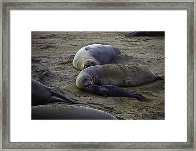 Elephant Seal Mom And Pup Framed Print by Garry Gay