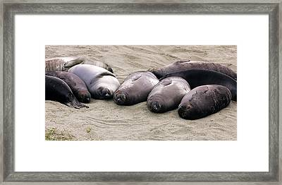 Elephant Seals Framed Print