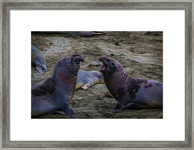 Elephant Seals Challenging Each Other Framed Print