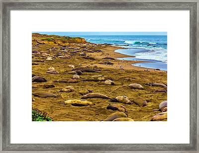 Elephant Seals Near Cambria  Framed Print