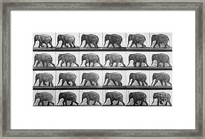 Elephant Walking Framed Print by Eadweard Muybridge