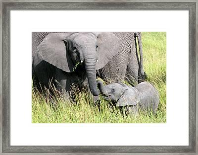 Elephants - Little Sister Framed Print by Nancy D Hall