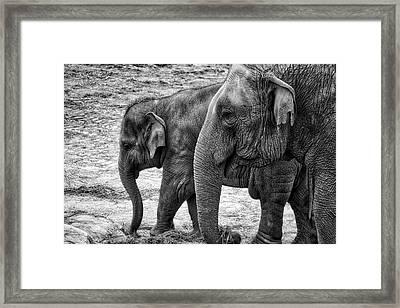 Elephants Bw Framed Print
