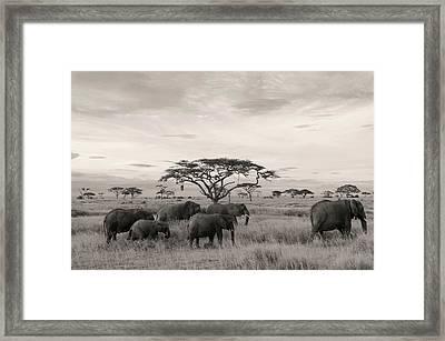 Elephants Framed Print