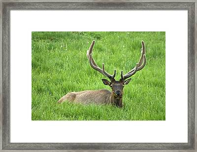 Framed Print featuring the photograph Elk 6 by Gary Lengyel
