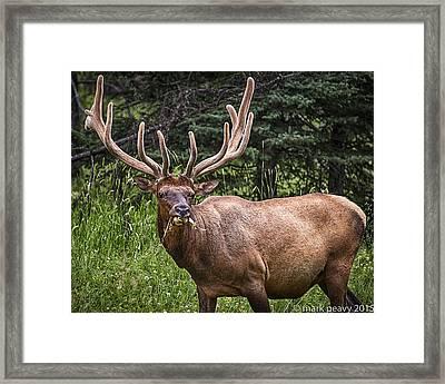 Elk Buck Framed Print