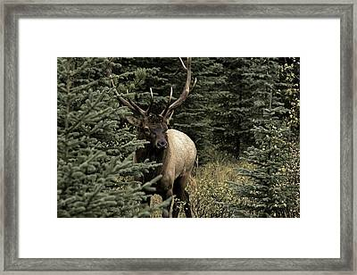 Elk Bull Framed Print