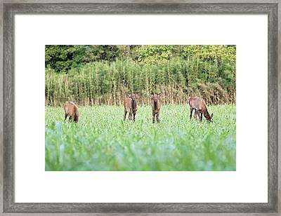 Elk Calves Framed Print