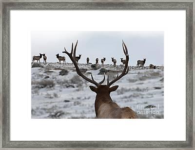 Elk Herd Framed Print by Wildlife Fine Art