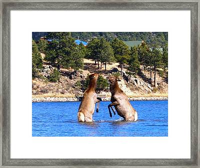 Elk In Lake Estes Framed Print