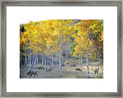 Elk In Rmnp Colorado Framed Print
