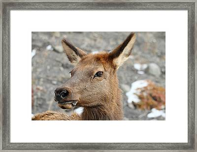 Elk In Yellowstone Framed Print by Pierre Leclerc Photography