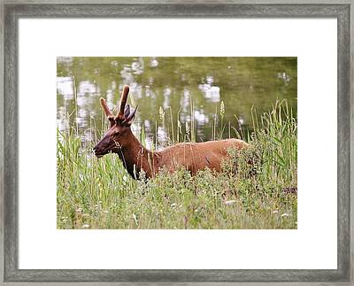 Elk Of Jasper... Framed Print