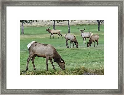 Elk On Golf Course Estes Park Colorado Framed Print