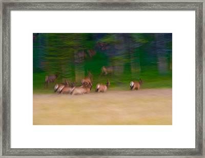 Elk On The Run Framed Print by Sebastian Musial