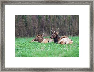 Framed Print featuring the photograph Elk Relaxing by Paul Freidlund