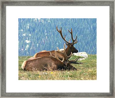 Elk Resting On Tundra Framed Print