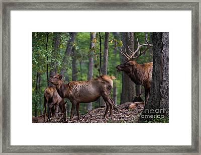 Elk Romance Framed Print