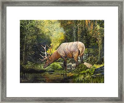 Elk Study Framed Print by Robert May