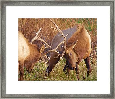 Framed Print featuring the photograph Elk Tussle by Todd Kreuter