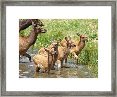 Elk Water Babies In Evergreen Colorado Framed Print
