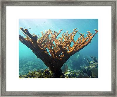 Elkhorn Coral Framed Print