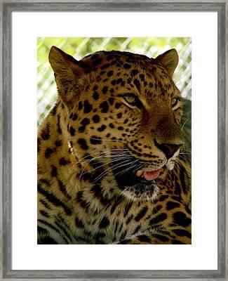 Elmira's Leopard Framed Print by Kimberly Camacho