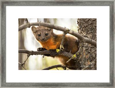Elusive Framed Print by Aaron Whittemore