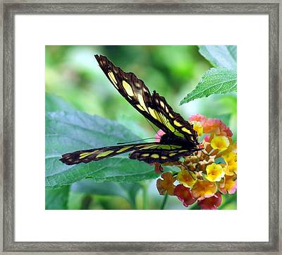 Elusive Butterfly Framed Print