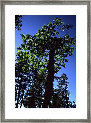 Emerald Oak Framed Print
