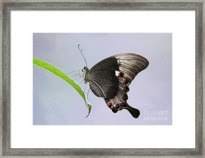 Emerald Peacock Swallowtail Butterfly V2 Framed Print