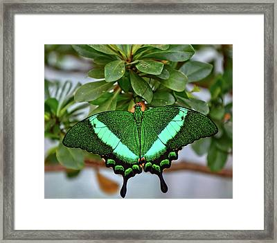 Emerald Swallowtail Butterfly Framed Print by Ronda Ryan