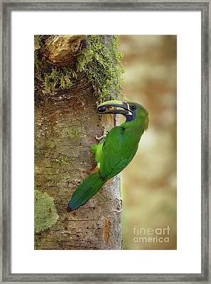 Emerald Toucanet And Wild Fruit Framed Print