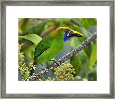 Emerald Toucanet Framed Print by Tony Beck