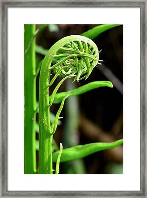 Emerging Fern - Everglades National Park Framed Print
