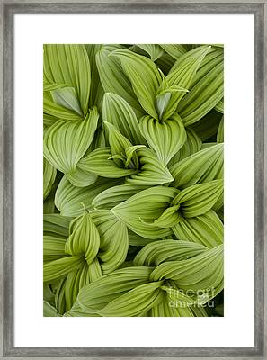 Emerging Leaves Framed Print by Tim Grams