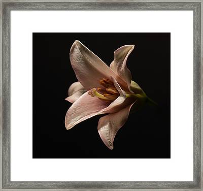 Emerging Lilly Framed Print by Len Romanick