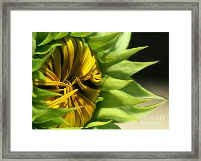 Emerging Sunflower Framed Print by Sabrina L Ryan
