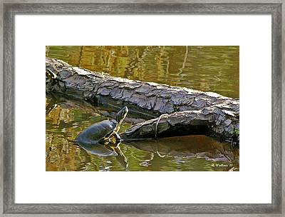 Emerging Turtle Framed Print by Brian Wallace